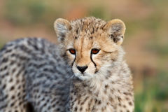 Cheetah cub portrait, Masai Mara Stock Photography