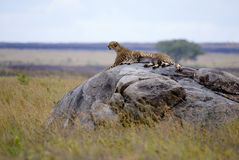 Cheetah with cub in Serengeti. Cheetah with cub lying on a stone in the Serengeti plain. The adult cheetah is looking straight ahead (parallel to camera royalty free stock photos