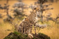Cheetah and cub sit on grassy mound stock photos