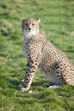 Cheetah cub sitting in grass Royalty Free Stock Photos