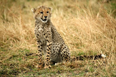 Cheetah cub sitting in the grass. In the Masai Mara Reserve in Kenya Royalty Free Stock Images