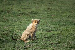 Cheetah cub. Sitting in the grass and staring in Serengeti National Park in Tanzania Royalty Free Stock Photography
