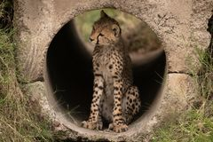 Cheetah cub sitting in pipe looking left Royalty Free Stock Photos