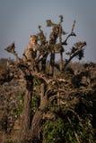 Cheetah cub sitting at top of tree stock images