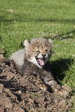 Cheetah cub snarl Stock Photo