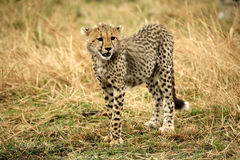 Free Cheetah Cub Standing Watchful In The Grass Royalty Free Stock Images - 4238919