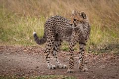 Cheetah cub stands on track turning head royalty free stock photography
