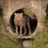 Cheetah cub staring out from concrete pipe royalty free stock images