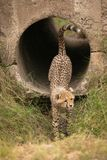 Cheetah cub steps out of concrete pipe stock image