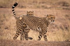 Cheetah cub tackles mother on earth bank royalty free stock photo