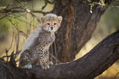 Cheetah cub in tree, Serengeti, Tanzania. One small Cheetah cub in tree, Serengeti, Tanzania Royalty Free Stock Photography