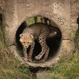 Cheetah cub turning round in concrete pipe stock images