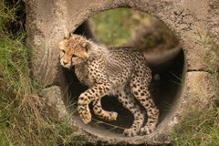Cheetah cub twisting head jumping from pipe royalty free stock photo