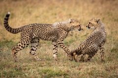 Cheetah cub walks towards another sitting down stock photos