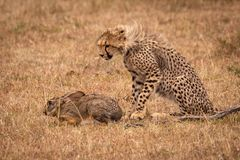 Cheetah cub watches scrub hare in savannah royalty free stock photography