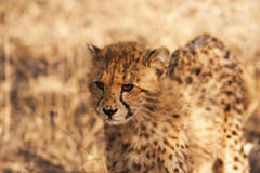 Cheetah Cub In The Wild Royalty Free Stock Photography