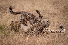 Cheetah and cub wrestling in long grass Royalty Free Stock Images