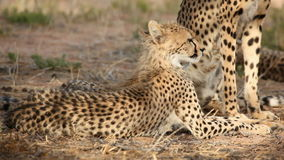 Cheetah with cub stock video footage