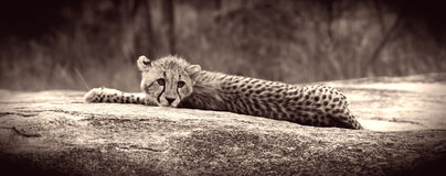 Cheetah Cub Stock Images