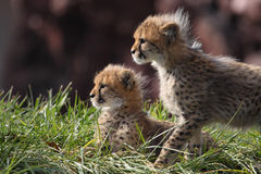 Cheetah cubs. The two cheetah cubs are seeking its mother Royalty Free Stock Photography
