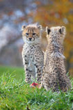 Cheetah cubs. Nice portraits of two cheetah cubs stock image