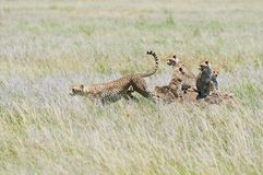 Cheetah with cubs Stock Image