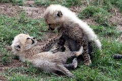 Cheetah Cubs Stock Photos