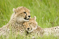 Cheetah cubs Stock Photography