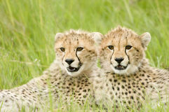 Cheetah cubs. Two cheetah cubs huddled up together alert in Kenya's Masai Mara Stock Image