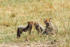 Cheetah with cubs Stock Images