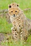 Cheetah cubs Stock Images