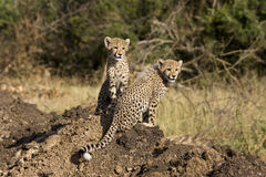 Cheetah cubs. On a dirt mound Stock Photo
