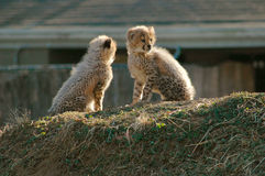Cheetah Cubs. Approximately 3 months old Royalty Free Stock Images