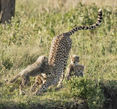 Cheetah with cubs Royalty Free Stock Photography