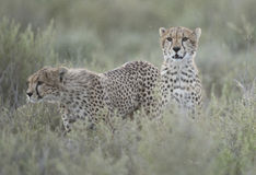 Cheetah cubs. Royalty Free Stock Images