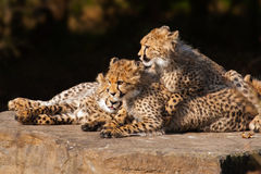 Cheetah cubs close together Stock Image