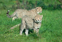 Cheetah cubs on the grass Royalty Free Stock Photo