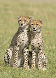 ,Cheetah cubs. Kenya, Africa Masai Mara,Cheetah cubs Royalty Free Stock Photo