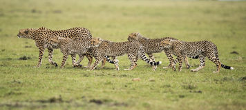 Cheetah and cubs. Kenya, Africa Masai Mara , cheetah with cubs Royalty Free Stock Images
