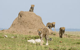 Cheetah with cubs Royalty Free Stock Photos