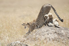 Cheetah with cubs in Masai Mara, Kenya Royalty Free Stock Photos