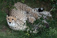 Cheetah Cubs and Mom Royalty Free Stock Photo