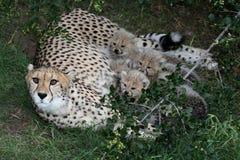 Cheetah Cubs and Mom Royalty Free Stock Photo