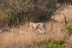 Cheetah with cubs. Mother cheetah with two cubs running Stock Photos