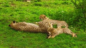Cheetah cubs with mother. Two cheetah cubs with their mother in Ngorongoro Conservation Area, Tanzania Africa. African cheetah species Acinonyx jubatus, family stock footage