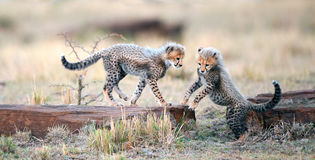 Cheetah cubs play with each other in the savannah. Cheetah Acinonyx jubatus royalty free stock images
