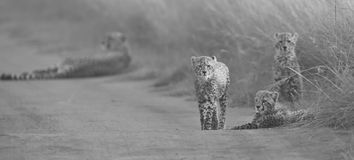 Cheetah cubs playing with a mother in the background in artistic. Cheetah cubs playing with its mother in the background in artistic conversion Royalty Free Stock Images