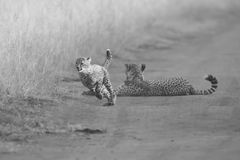 Cheetah cubs playing with a mother in the background in artistic. Cheetah cubs playing with its mother in the background in artistic conversion Royalty Free Stock Photos