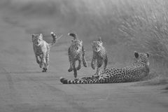 Cheetah cubs playing with a mother in the background in artistic. Cheetah cubs playing with its mother in the background in artistic conversion Stock Photos
