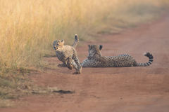 Cheetah cubs playing with a mother in the background in artistic Stock Image